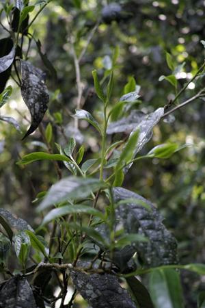 刮風寨単樹1号の葉