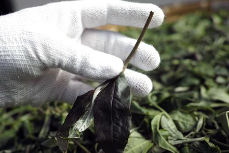 茎の長い秋の茶葉