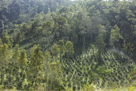 小樹の茶樹