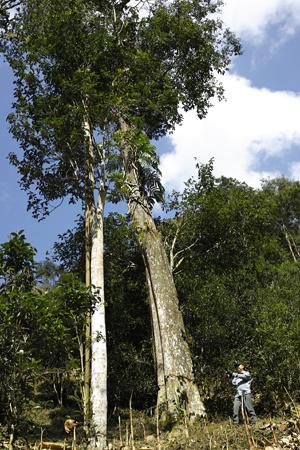 高幹の茶樹