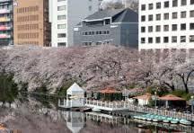 市ヶ谷桜.jpg