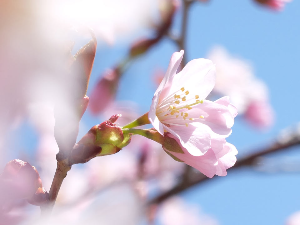 FUJIFILM X20サンプル 桜