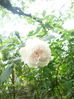 薔薇咲く☆画8