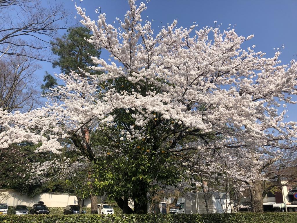 大徳寺の桜は見頃です。