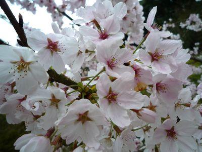 0402桜