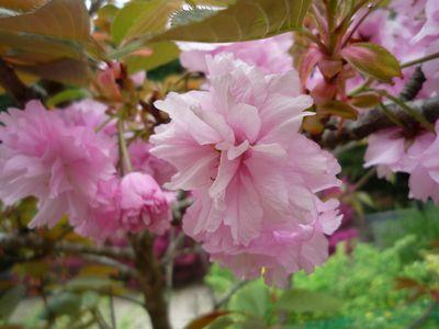 0404八重桜