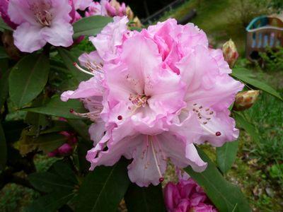 20130418石楠花