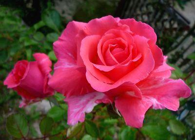 20130525薔薇.jpg