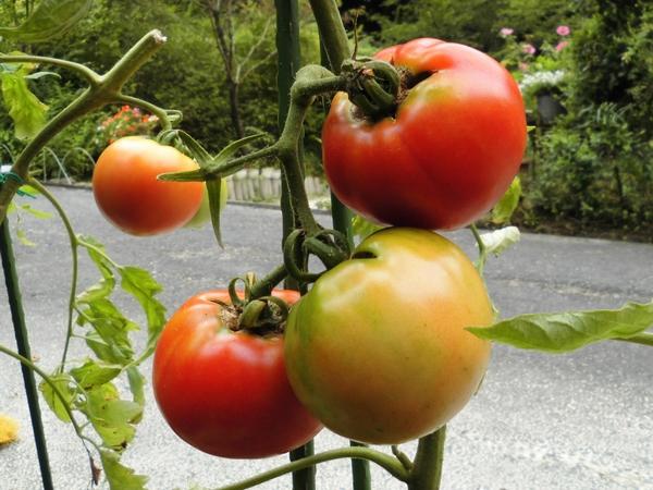 10円トマト