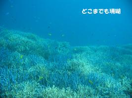 どこまでも珊瑚