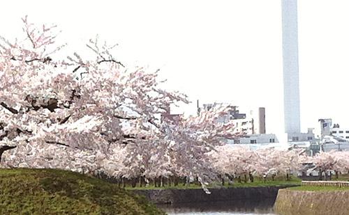 2011年 五稜郭公園の桜