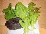 サラダ菜収穫