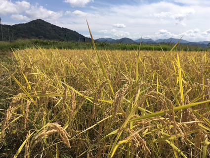 コウノトリ育むお米 稲刈り