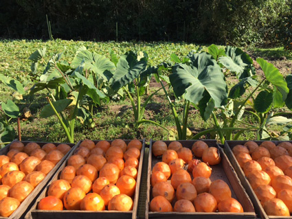 淡路島古川農園 柿