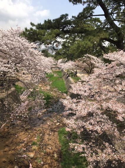 夙川の桜2018