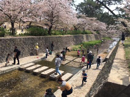 夙川の桜2018 川遊び