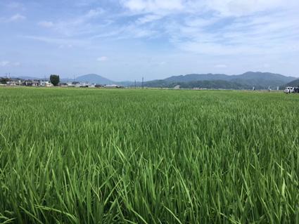 豊岡の田んぼ