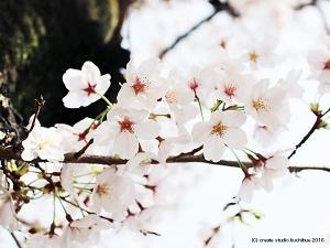 桜2016-2