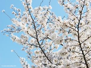 伏見の桜1