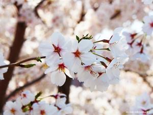 伏見の桜2