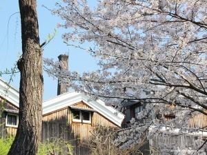 伏見の桜3