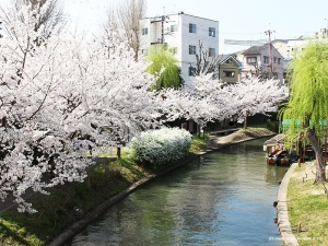 伏見の桜4