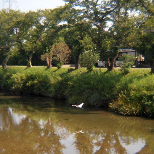 水面の白鷺