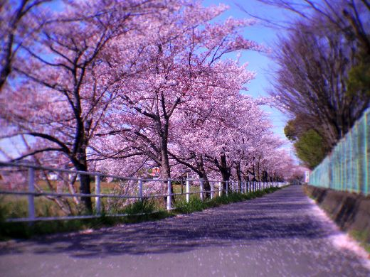 桜色の散歩道