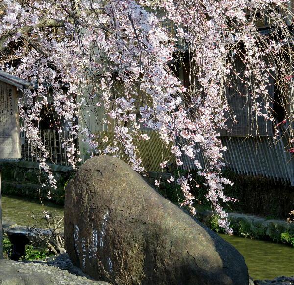 祇園白川、枝垂桜