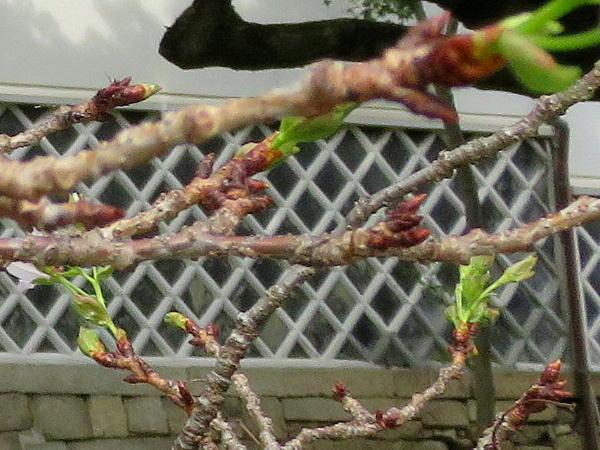 真如堂、季節外れの桜