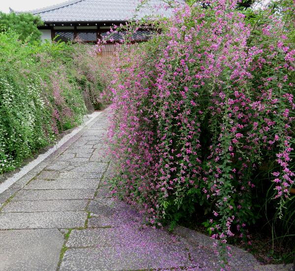 常林寺の萩