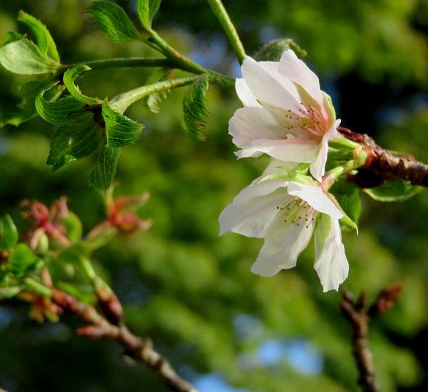 狂い咲き桜、真如堂