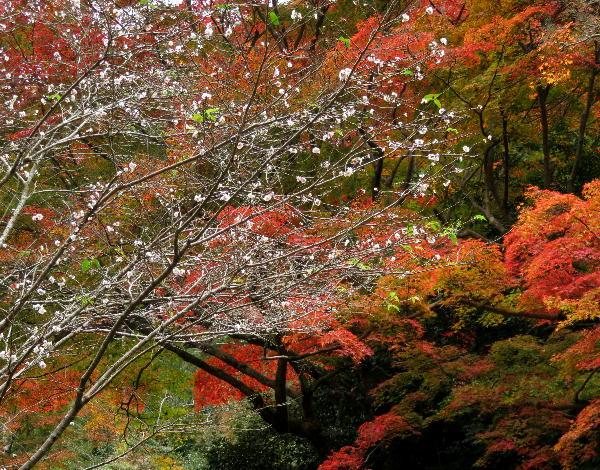 紅葉、十月桜、日向大神宮