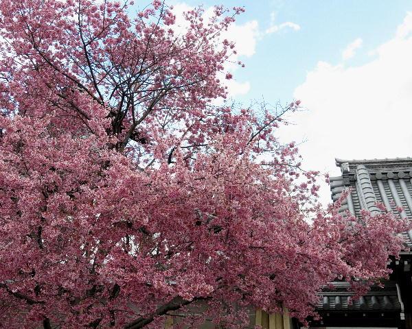 長徳寺、オカメ桜