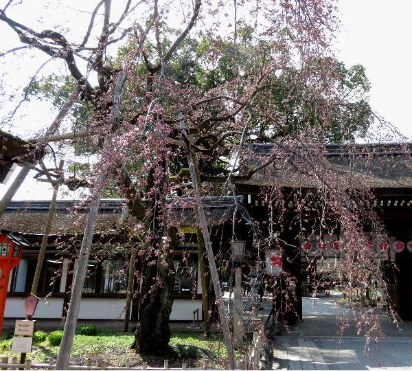 平野神社、先魁桜