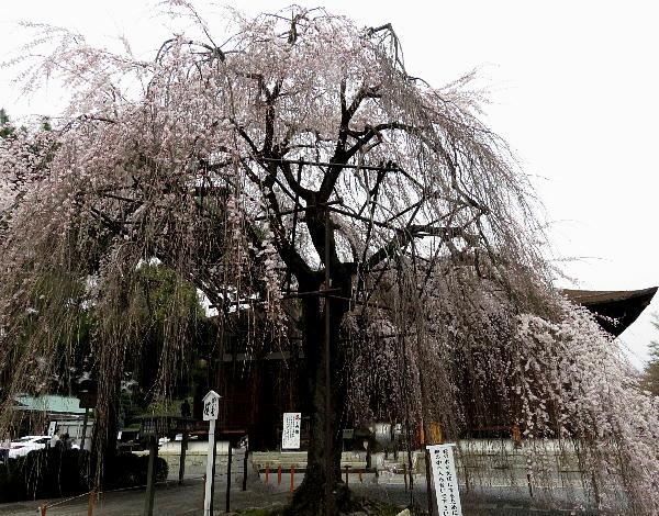 千本釈迦堂、おかめ桜