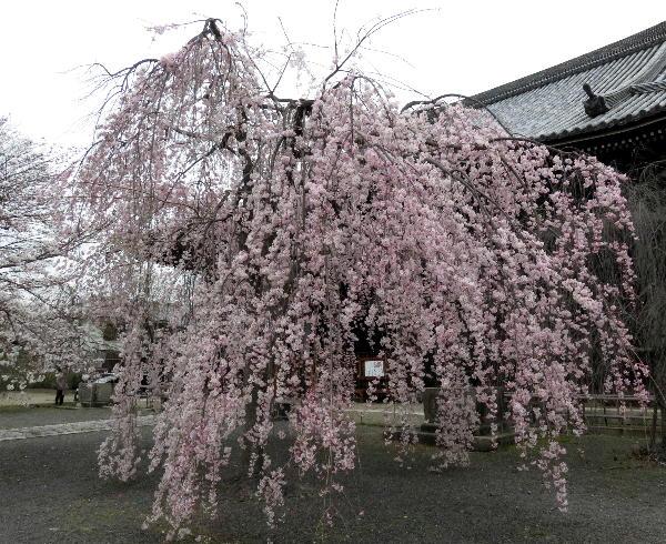 立本寺、紅枝垂桜