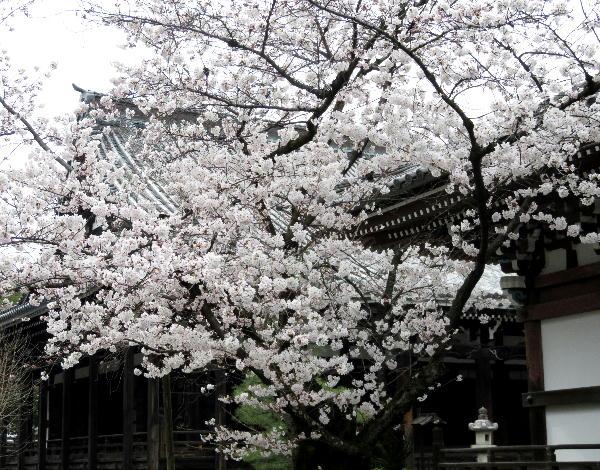 本法寺、ソメイヨシノ