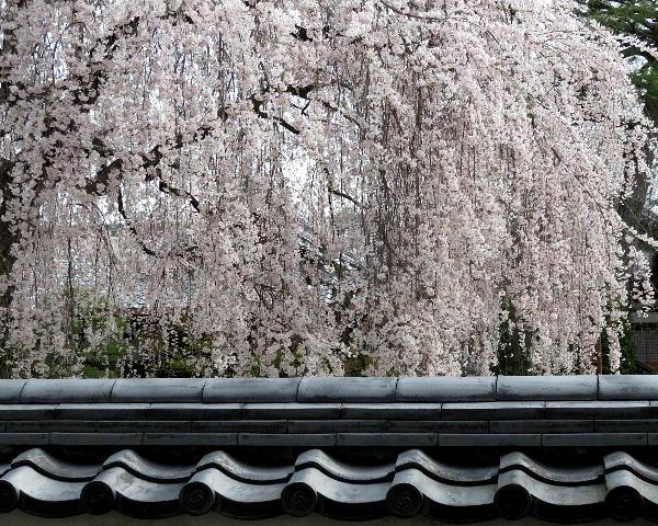 本満寺、枝垂桜