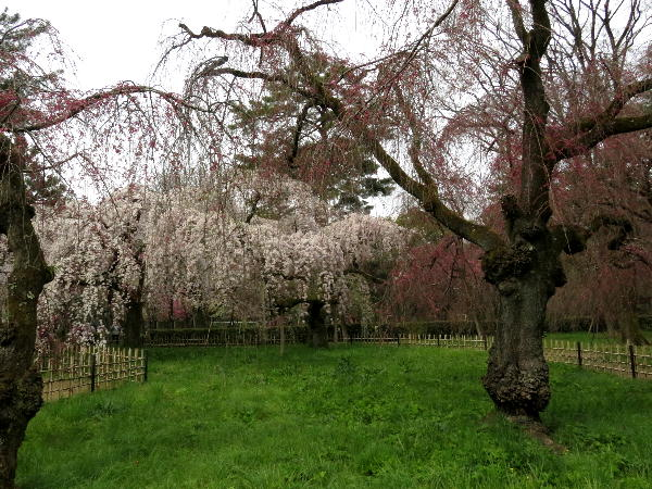 御苑、糸桜
