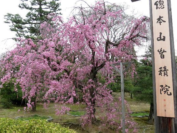 智積院、桜
