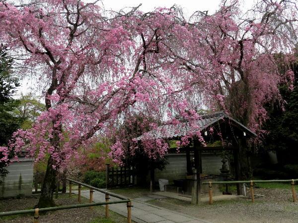 養源院、桜
