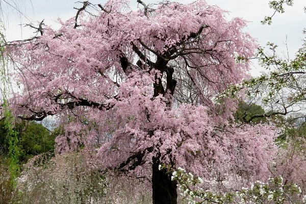 円山公園、祇園枝垂桜