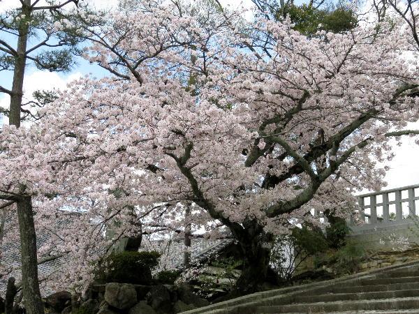 金戒光明寺、桜