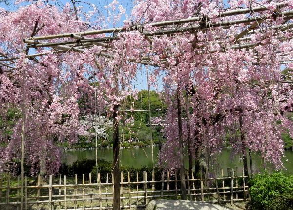 平安神宮、紅枝垂桜
