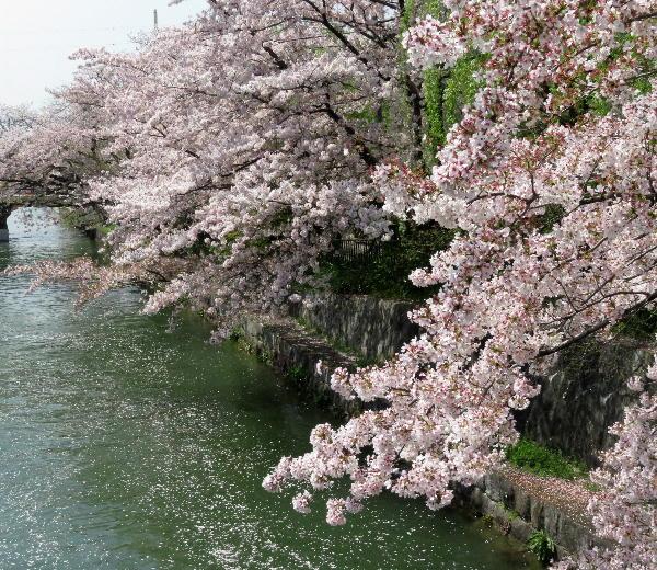 岡崎疎水、桜