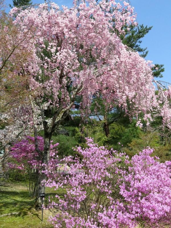 仁和寺、桜とミツバツツジ