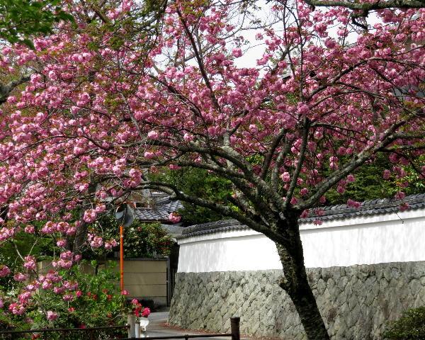 哲学の道、八重桜