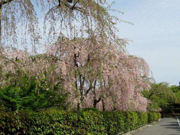 御屋敷通、枝垂桜