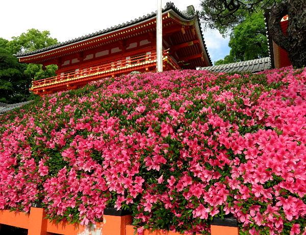 八坂神社 サツキ